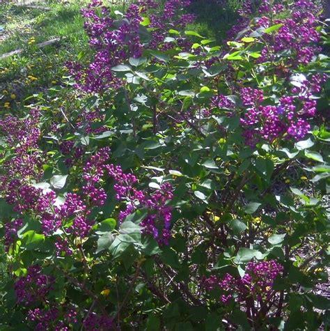 lilac bush budded lilac bush random sle pinterest