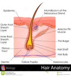Einfach illustration von menschenhaar anatomie zu redigieren