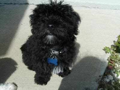 black fluffy puppy small fluffy dogs small fluffy black called moonshine small dogs