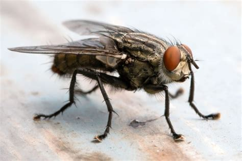 cluster fly catseye pest control