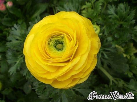 ranuncolo fiore tuberose ranuncolo ranunculus spp