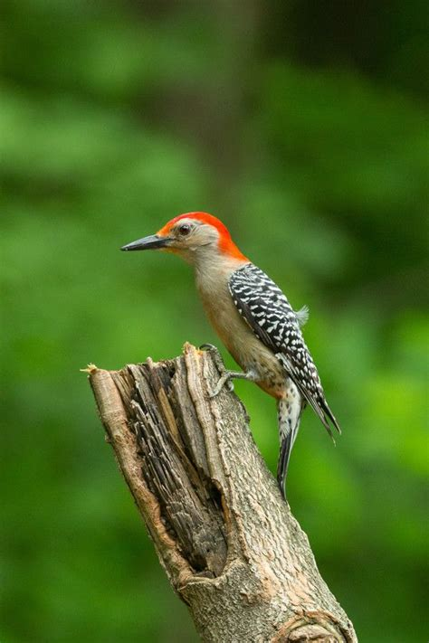 17 best images about woodpecker on pinterest spotted