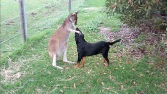 Rottweiler and kangaroo play tag in an adorable display of friendship