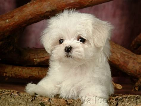 maltese puppy cut pictures puppies images cuddly fluffy maltese puppy wallpaper and background photos 13986019