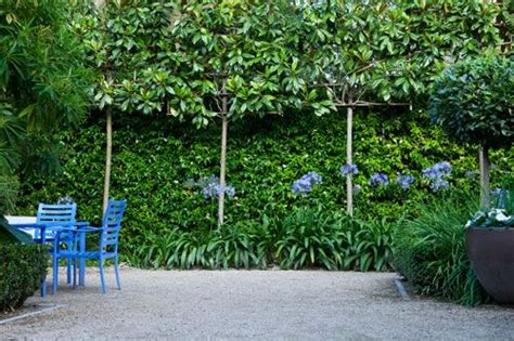 blue family in the garden pleached evergreen magnolias and with agapanthus