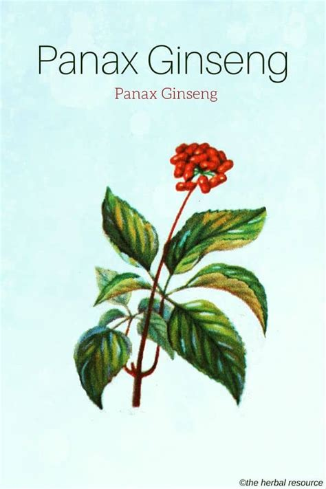 Panax Ginseng panax ginseng herb uses side effects and benefits