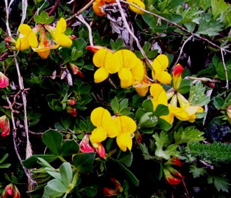 fiori montani fiori montani dalla valle d aosta forum natura