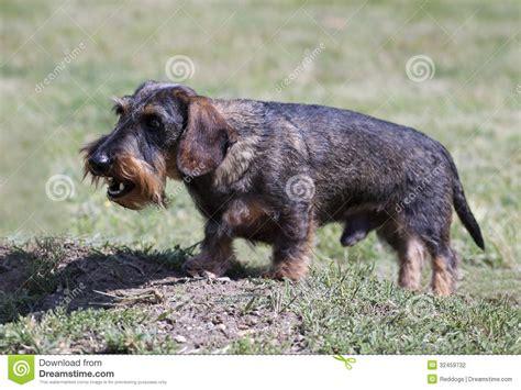 angry barking barking stock photography image 32459732