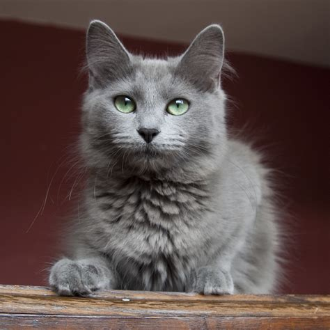 Nebelung History, Personality, Appearance, Health and Pictures