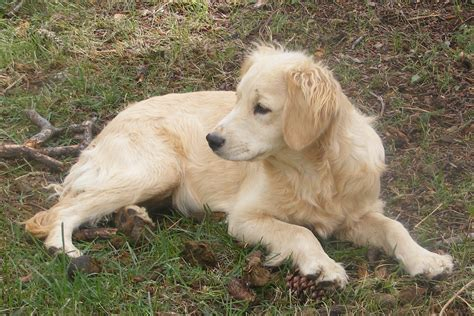 golden retriever miniature parent dogs