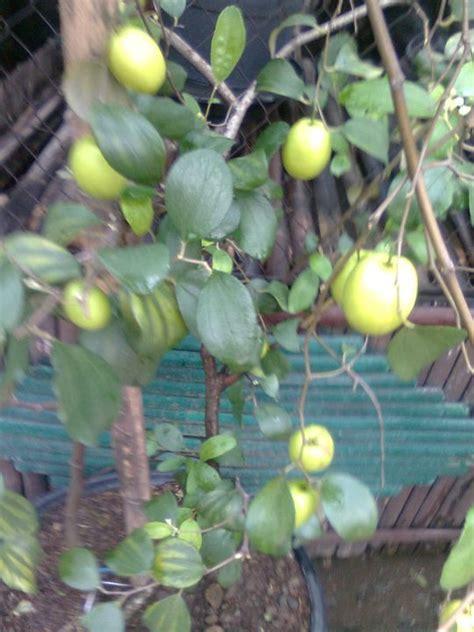 Biji Benih Tanaman Buah Indian Jujube apel india putsa buah buah impian