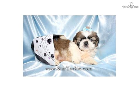 teacup havanese puppies for sale in illinois tiny teacup shih tzu puppy breeds picture