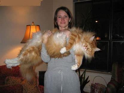world's biggest cat | logicamera