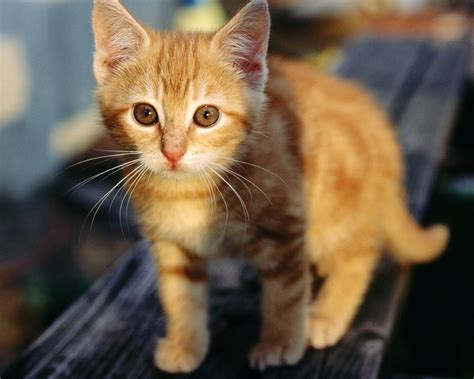 wallpaper cat orange kitty world cute orange kitten