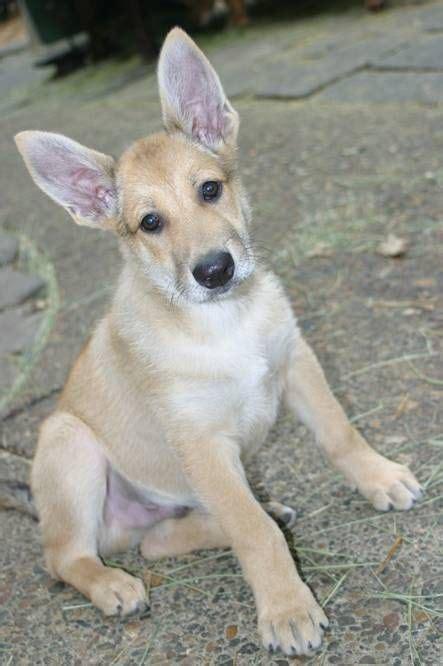 carolina dogs carolina puppy those ears fuzzy wuzzies