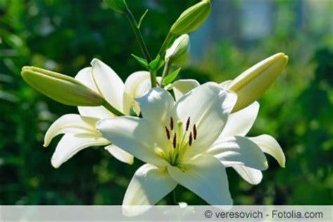 Lilie Garten Pflanzen by Lilien Pflanzen Pflege Und Schneiden Hausgarten Net