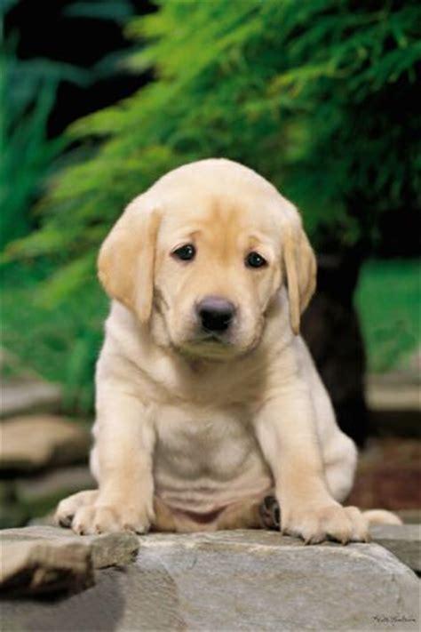 sad golden retriever puppy froshvocab whimper