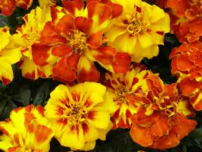 marigold colors what other color is similar to marigold yahoo answers