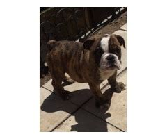 bulldog puppies for sale in kansas responsible bulldog puppies for sale animals topeka kansas