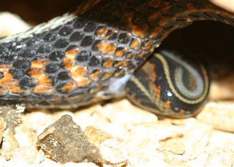 Garter Snake Giving Birth Garter Snake Giving Birth