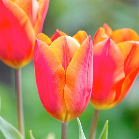 tulip bulbs orange collection dobies