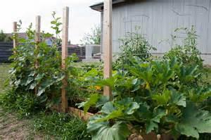 growing zucchini on a trellis dsc0359