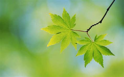 foto wallpaper daun gambar gambar daun yang alami dan sangat indah