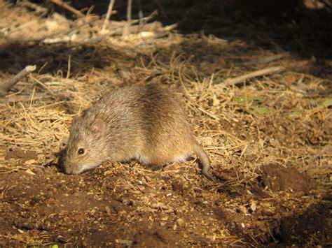 Rats In Backyard by Birdernaturalist May 2011