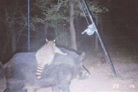 Wildgame Corn Feeder Raccoon Rides A Boar Critter Hops On Back Of Beast To Get