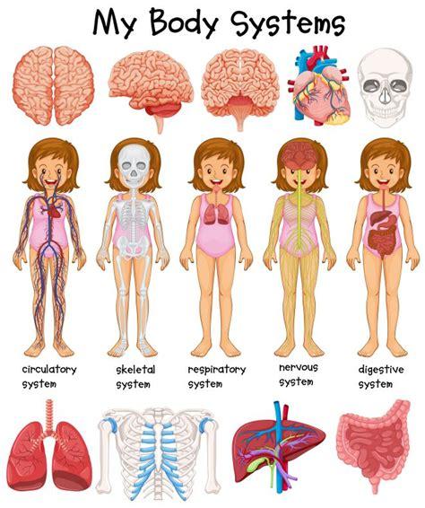 figura corpo umano organi interni studiare il corpo umano con i bambini metodo montessori