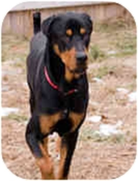 great dane rottweiler mix eddie adopted 13 westford ma rottweiler great dane mix