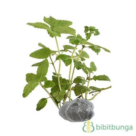Janggelan Cincau Perdu tanaman cincau hitam janggelan bibitbunga