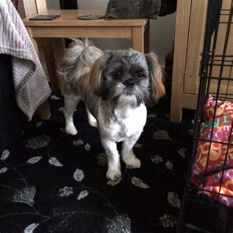 brown shih tzu for sale shih tzu for sale brown white peterlee county durham pets4homes