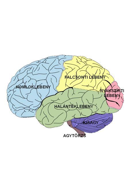 brain diagrams az emberi idegrendszer r 233 szei 233 s funkci 243 i wikiwand