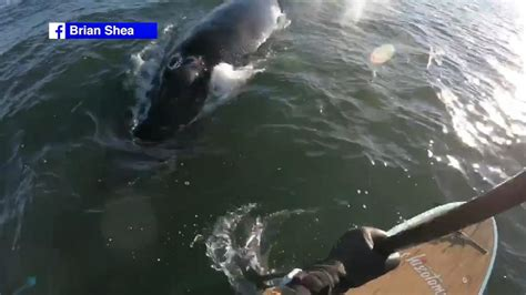whale boat video humpback whale gets close to boat off new jersey abc7ny