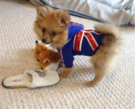 pomeranian clothing pomeranian clothing dress the clothes for your pets