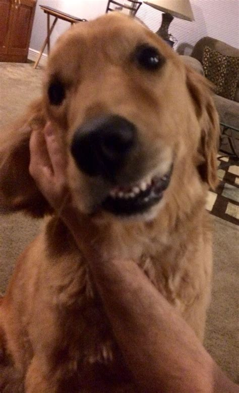 golden retriever ears ear rubs are my favorite my golden retriever ears