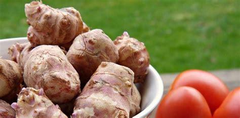 topinambur in cucina topinambur propriet 224 nutrizionali e utilizzo in cucina