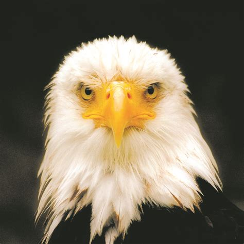 eagle face front view