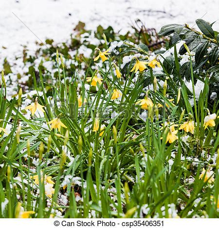 narcissus flowers in the snow stock images search stock