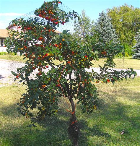 Evans Cherry Wikipedia Cherry Tree Pictures
