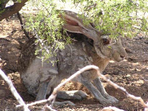 desert creatures  antelope jackrabbit  arizona