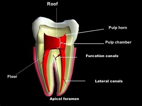 systems concept for the pulp 237 best images about endodontics root canals on root canal treatment gutta