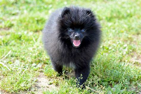 show me pictures of pomeranian puppies how to take care of a pomeranian with pictures wikihow grooming on white