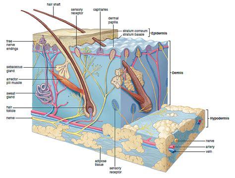 diagram of the dermis skin structure medicine hack