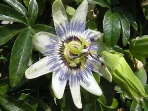 passiflora caerulea landscape architect s pages