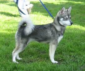 alaskan klee breed guide learn about the alaskan