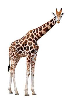giraffe definition and meaning | collins english dictionary