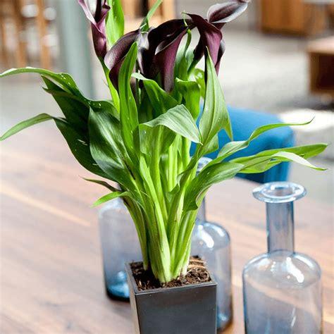 rode calla waterfresh 174 large easy indoor plants de plant wordt geleverd in een stijlvolle pot