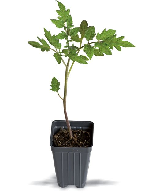 Sm Home Decor by 4th Of July Tomato Plant Buy From Gardener S Supply